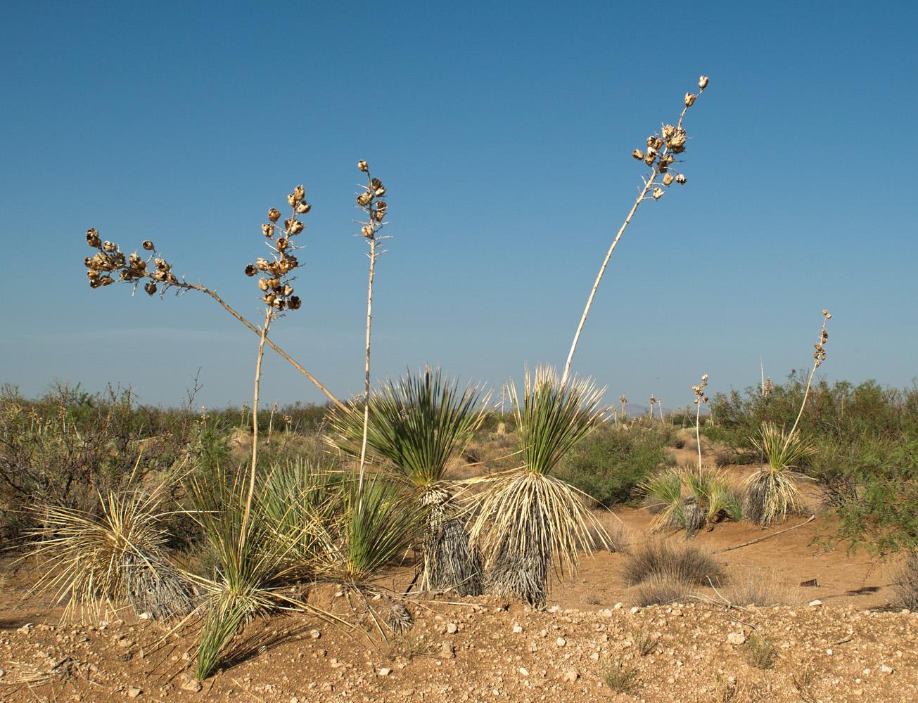 File Yucca elata cluster Wikimedia mons