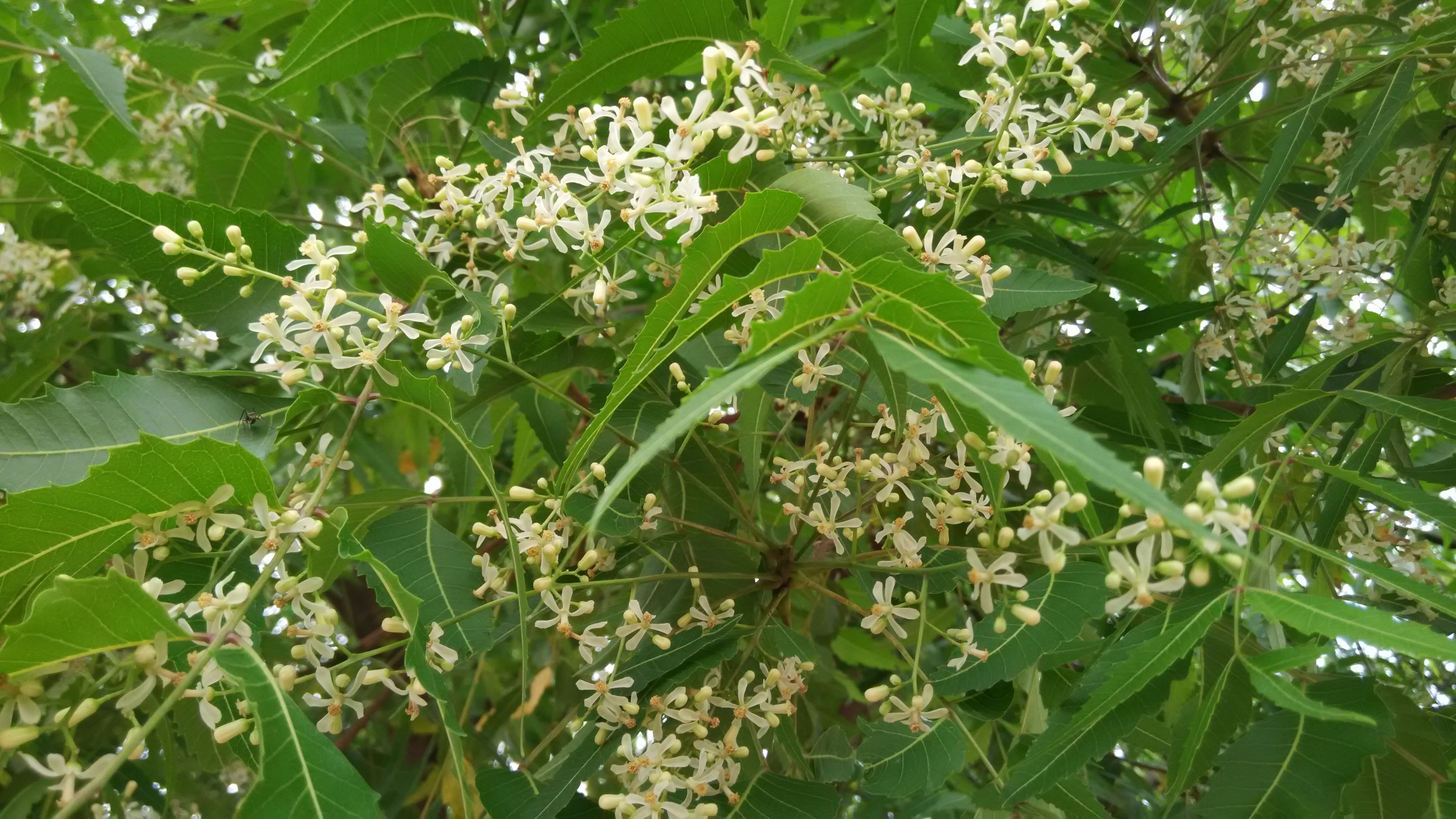 Edible Wild Flowers - Eat The Weeds and other things, too Neem tree flowers photos