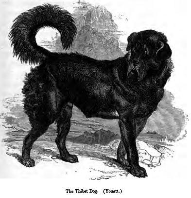 Tibet Mastifi Vikipedi