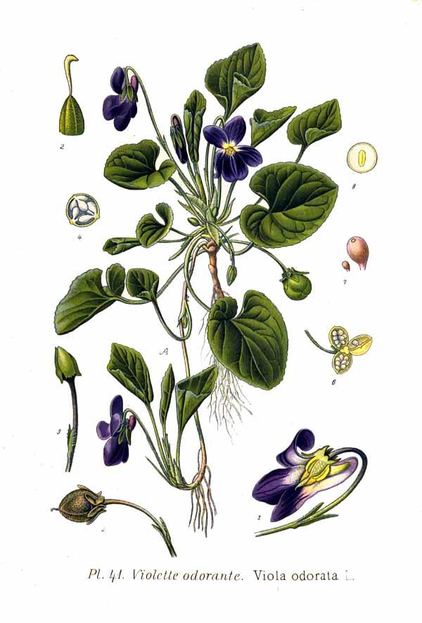 41 Viola odorata L.jpg
