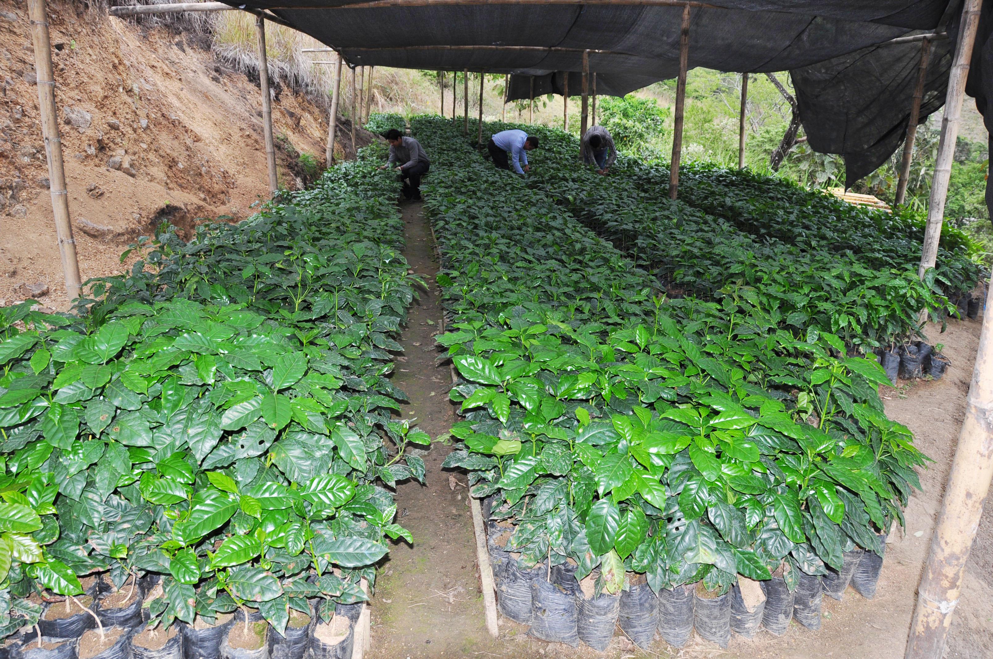 Archivo 50 vivero plantas de caf 12522980593 jpg for Viveros de plantas
