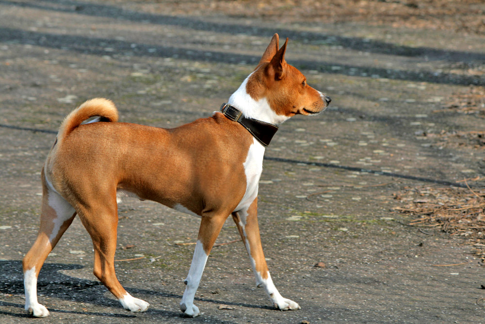 African Breed Of Dog That Cannot Bark