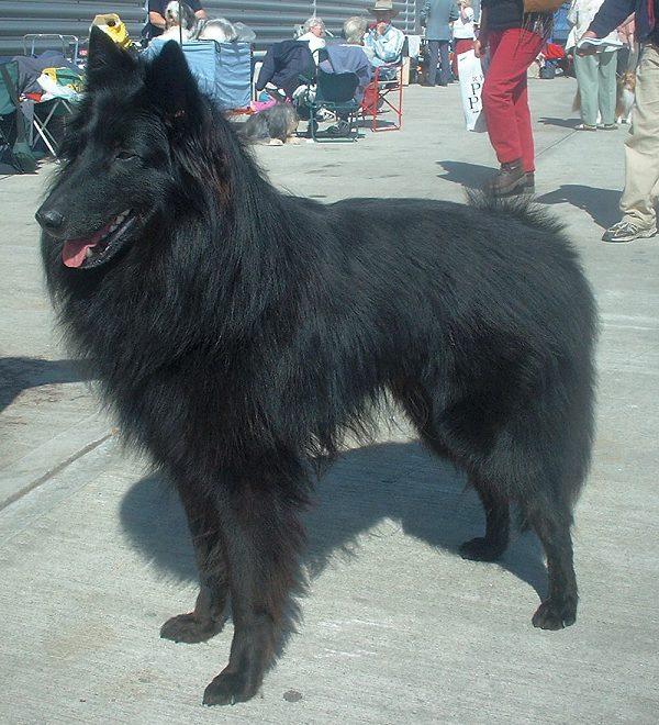 Tidssvarende Belgisk hyrdehund - Wikipedia, den frie encyklopædi ZS-46
