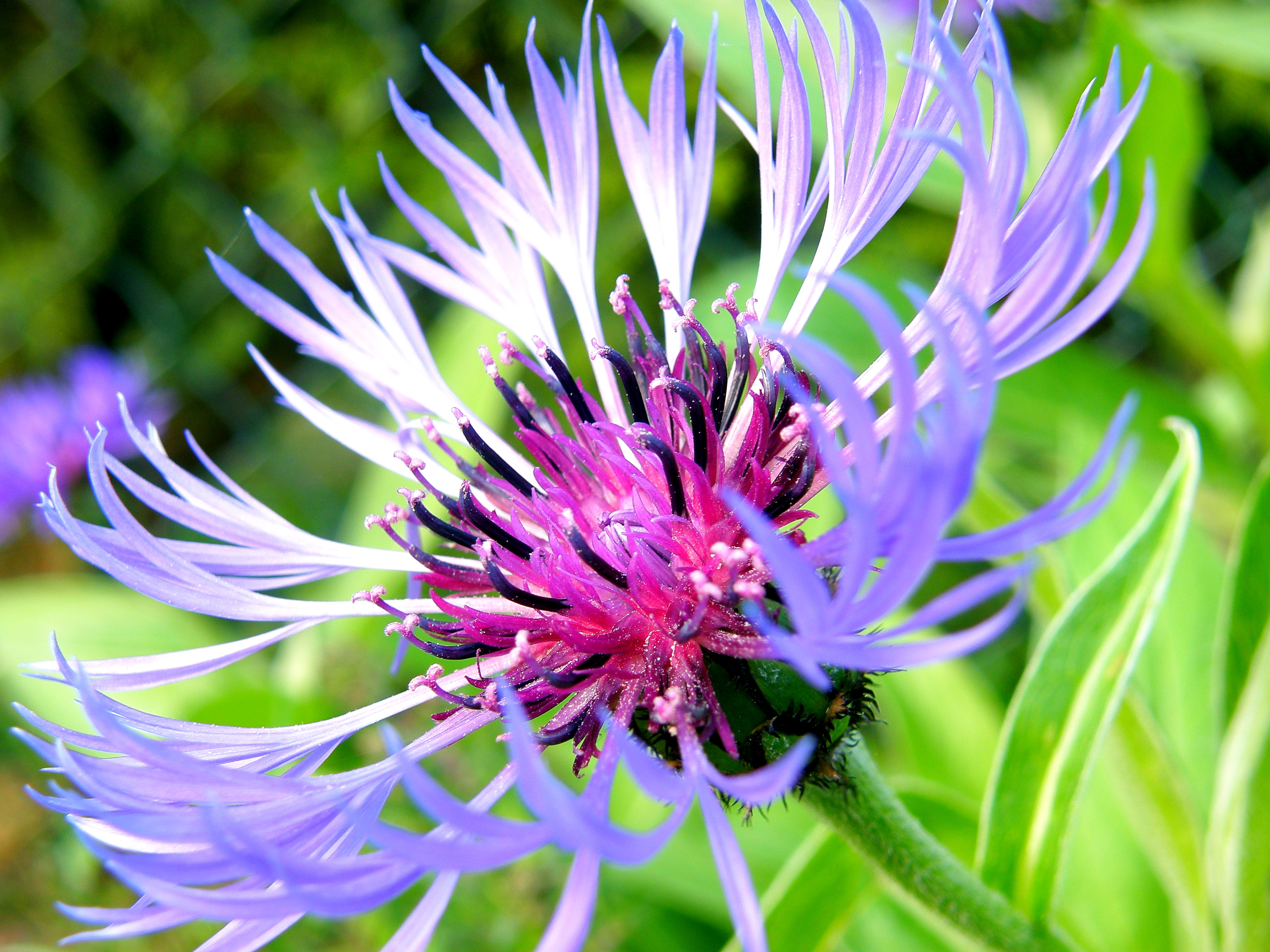 File Bleuet cornflower