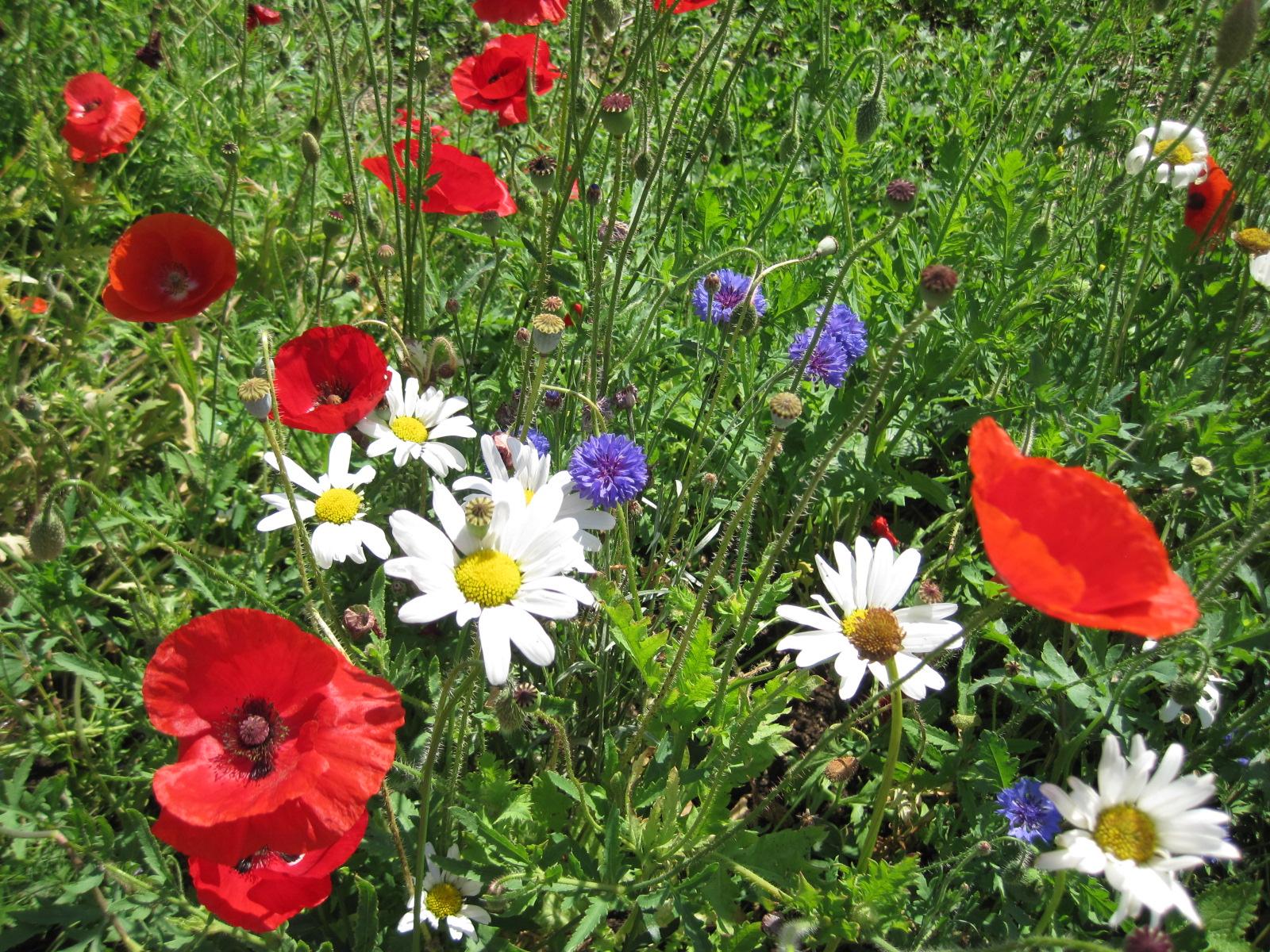 Une nouvelle fleur en plein questionnement - Page 7 Bleuets_%26_Coquelicots_0002