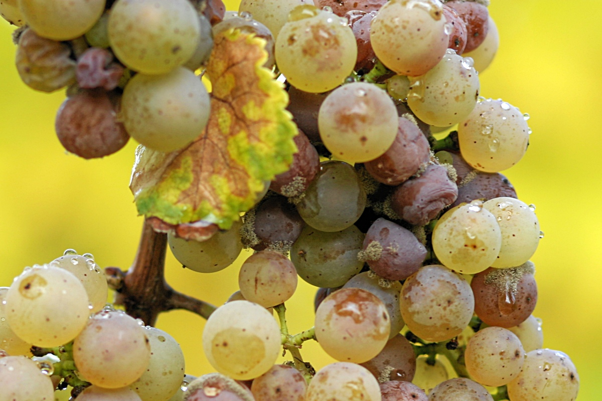 Riesling angrepet av Botrytis cinera der man ser forskjellige stadier med vnalige druer og inntørkede druer på samme stilk