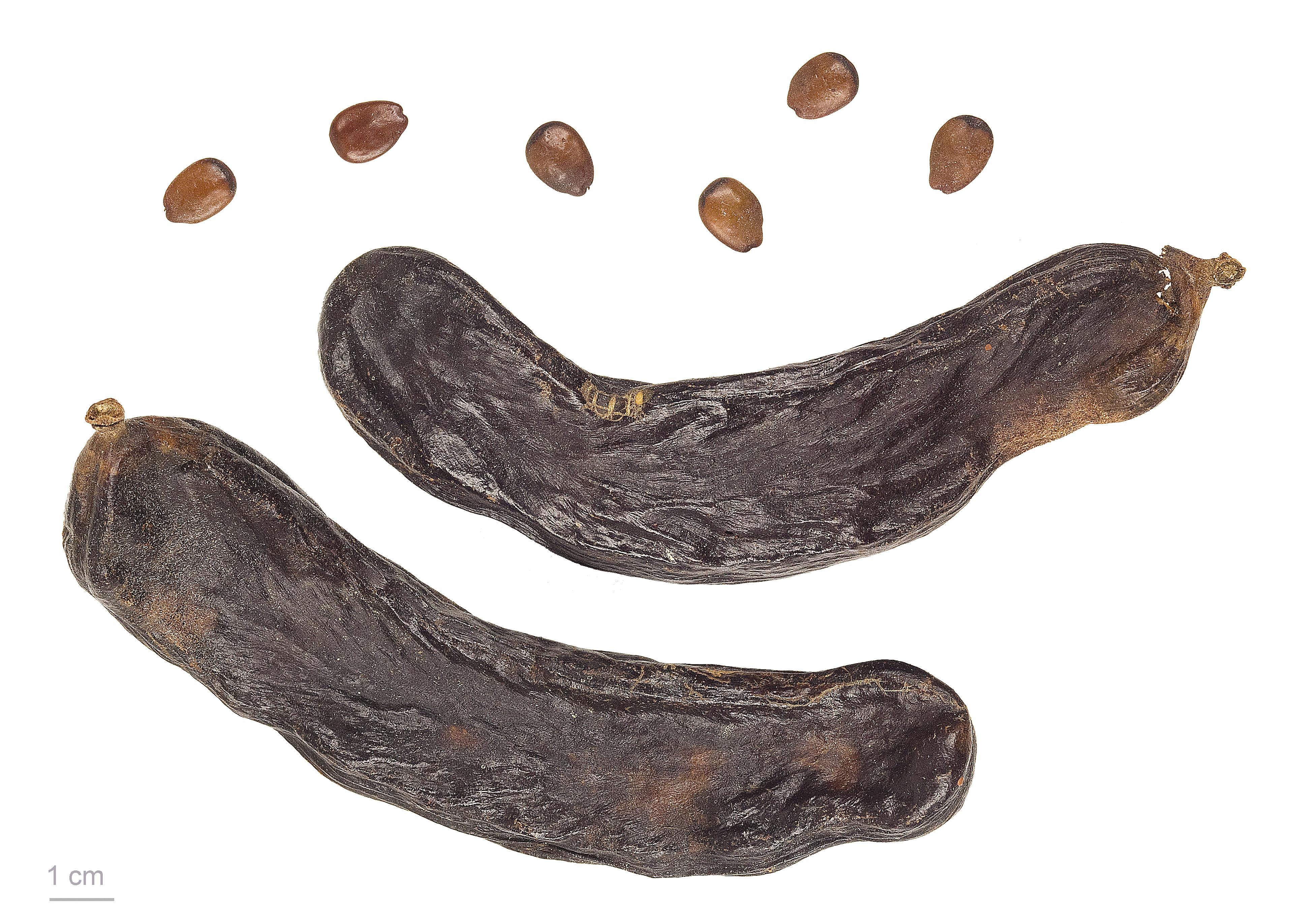 Szarańczyn strąkowy - Ceratonia siliqua
