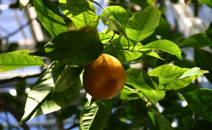 Citrus-reticulata2