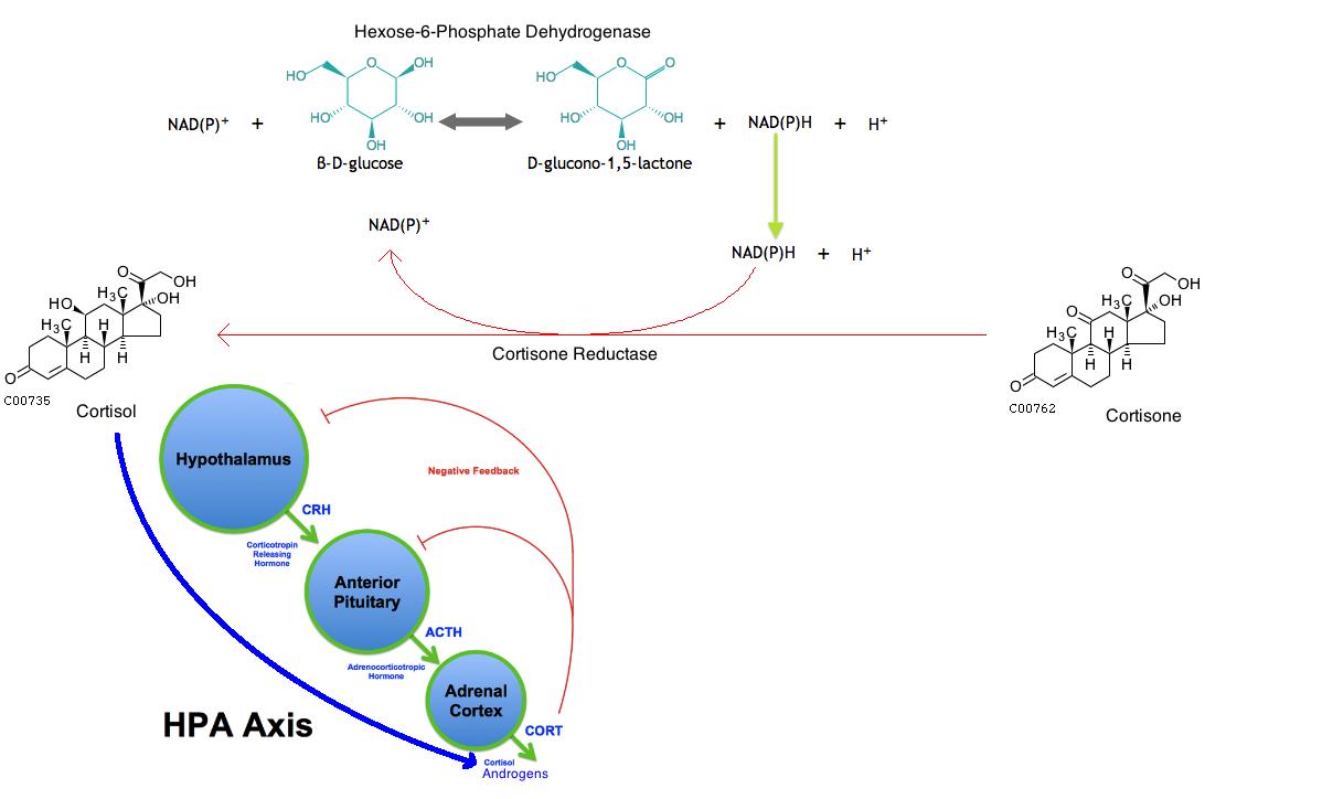 21 beta hydroxysteroid dehydrogenase