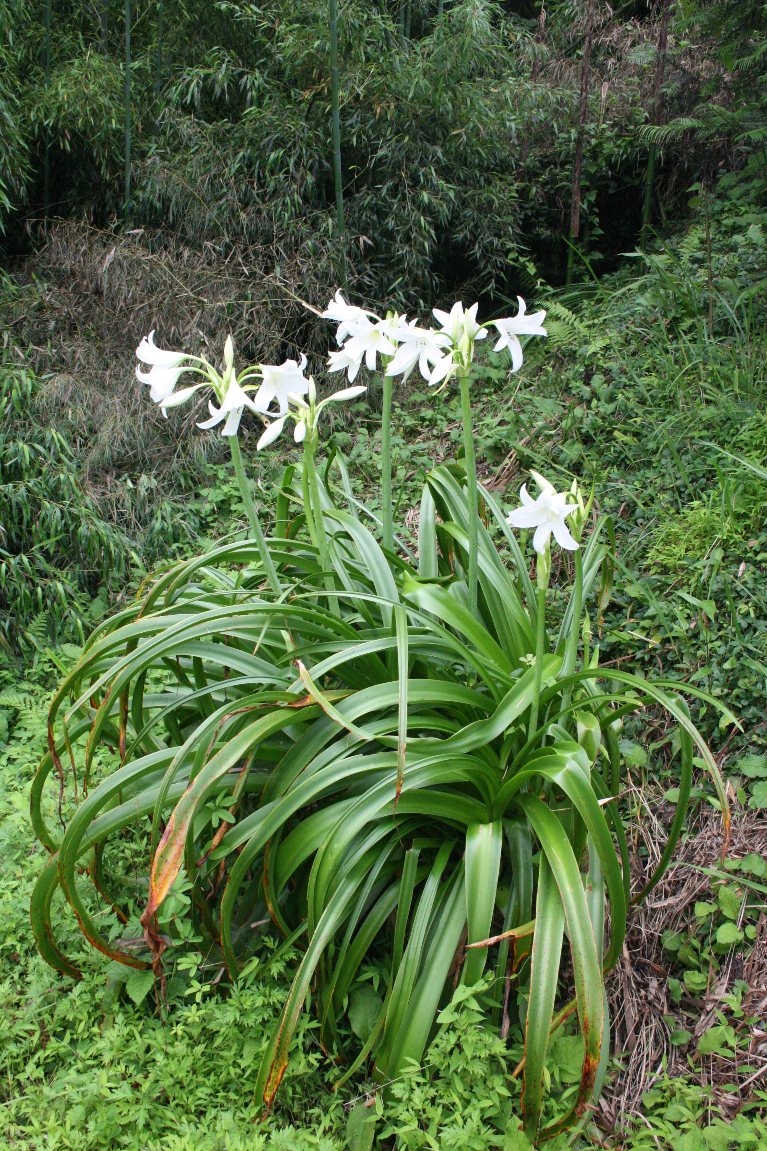 file crinum longifolium cape lily კრინი jpg wikimedia commons
