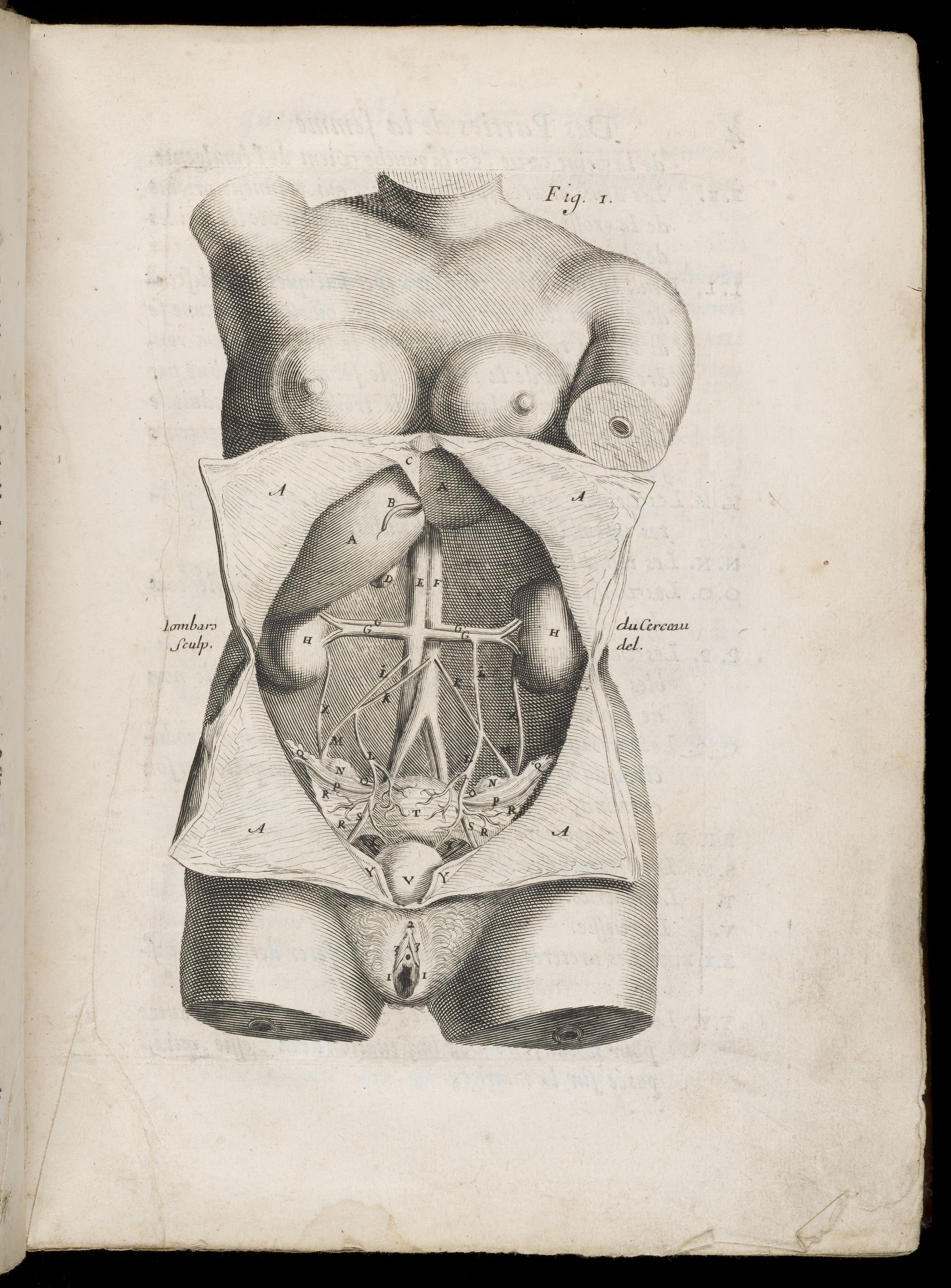 Filediagram Of Female Internal Organs Including Kidneys Liver