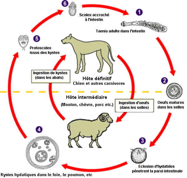 Echinococcus Life Cycle(French version).PNG