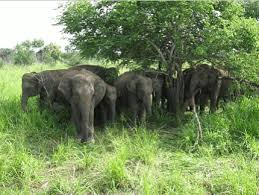 Sathyamangalam Tiger Reserve has the largest elephant population in India. Elephants in wild.jpg