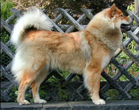 Eurasiër - Dog Scanner