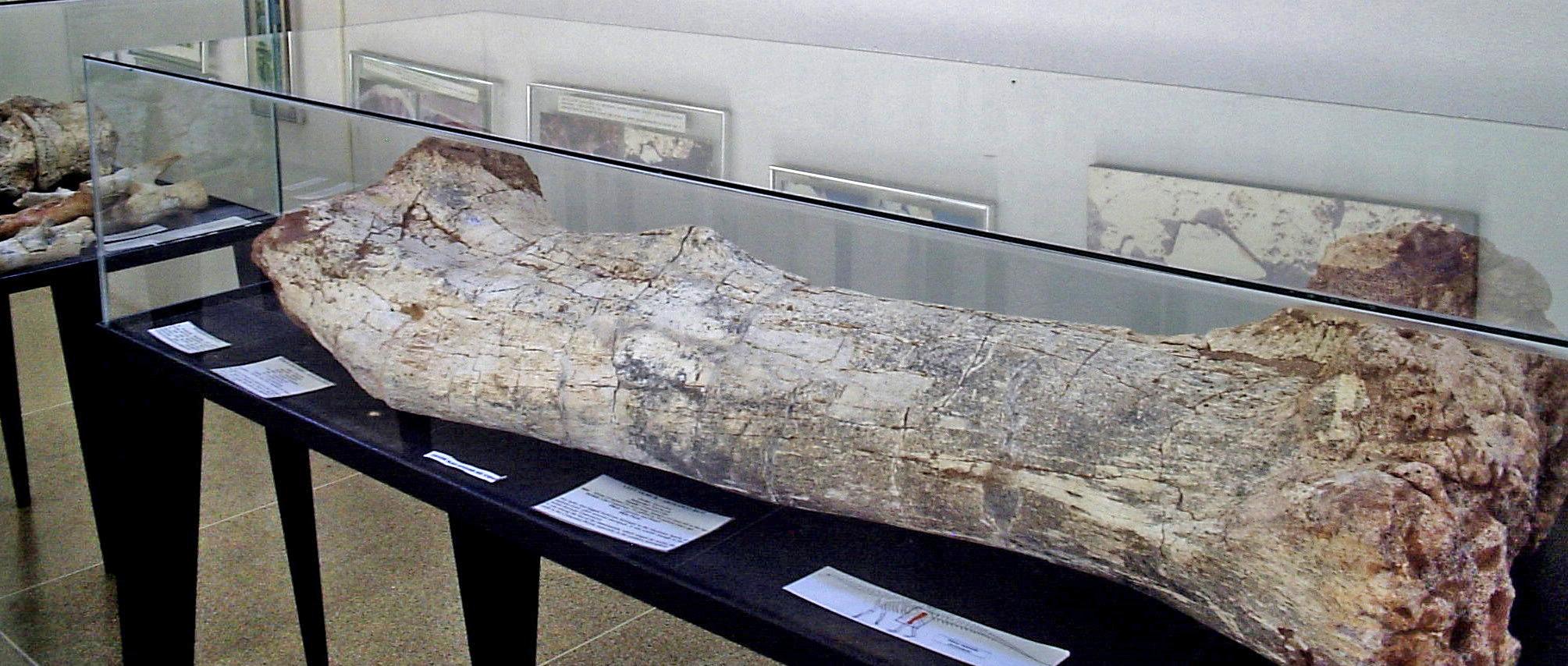 Fêmur de Aeolossauro (MPMA).jpg