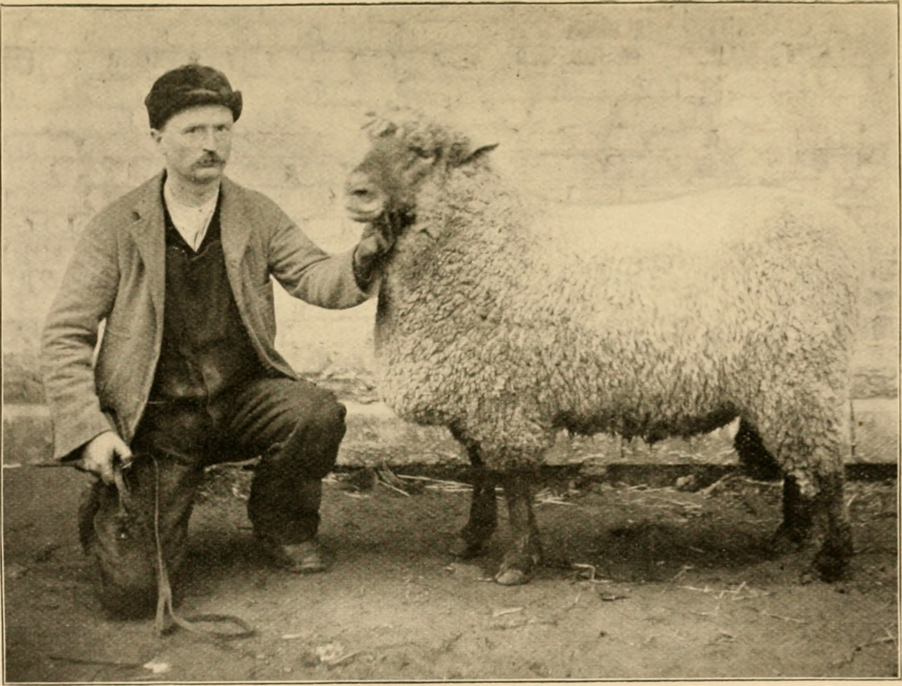 File:Fitting sheep for show ring and market (1900
