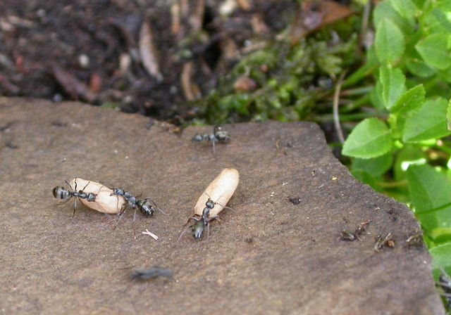 File:Formica lemani (Ants on Ilkley Moor) - geograph.org.uk - 874522.jpg