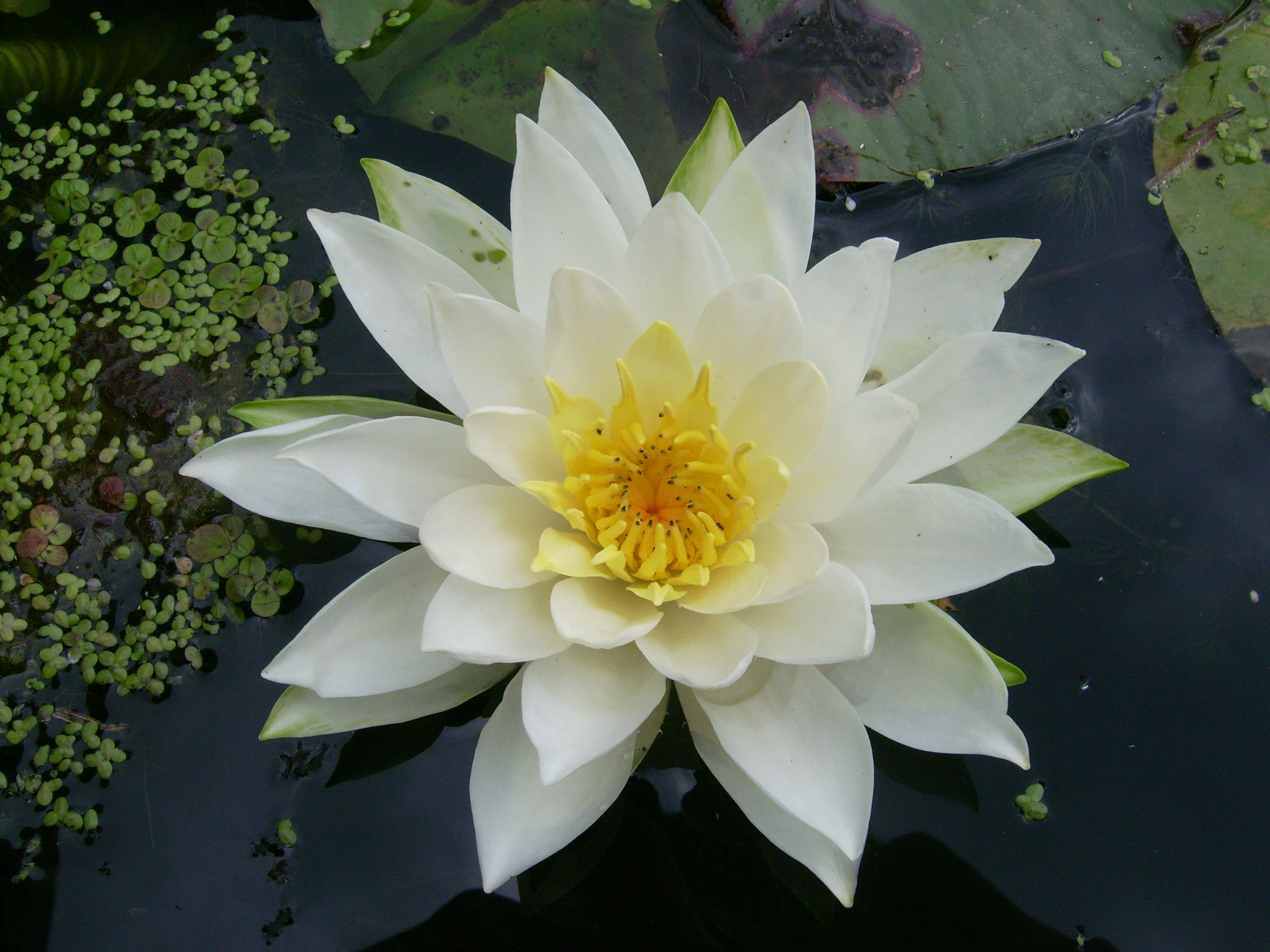 File Fragrant white water lily flower Desbarats R 2 JPG