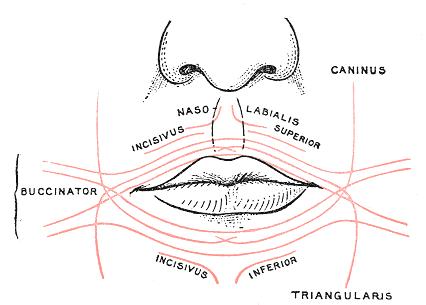 levator anguli oris - wikipedia, Human Body