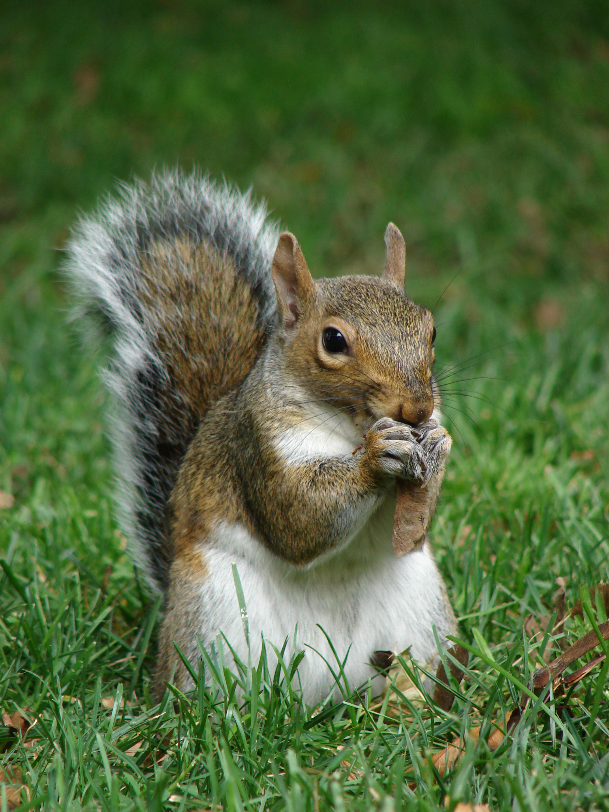 https://upload.wikimedia.org/wikipedia/commons/3/36/Gray_squirrel_(Sciurus_carolinensis)_in_Boston_Public_Garden_September_2010.jpg