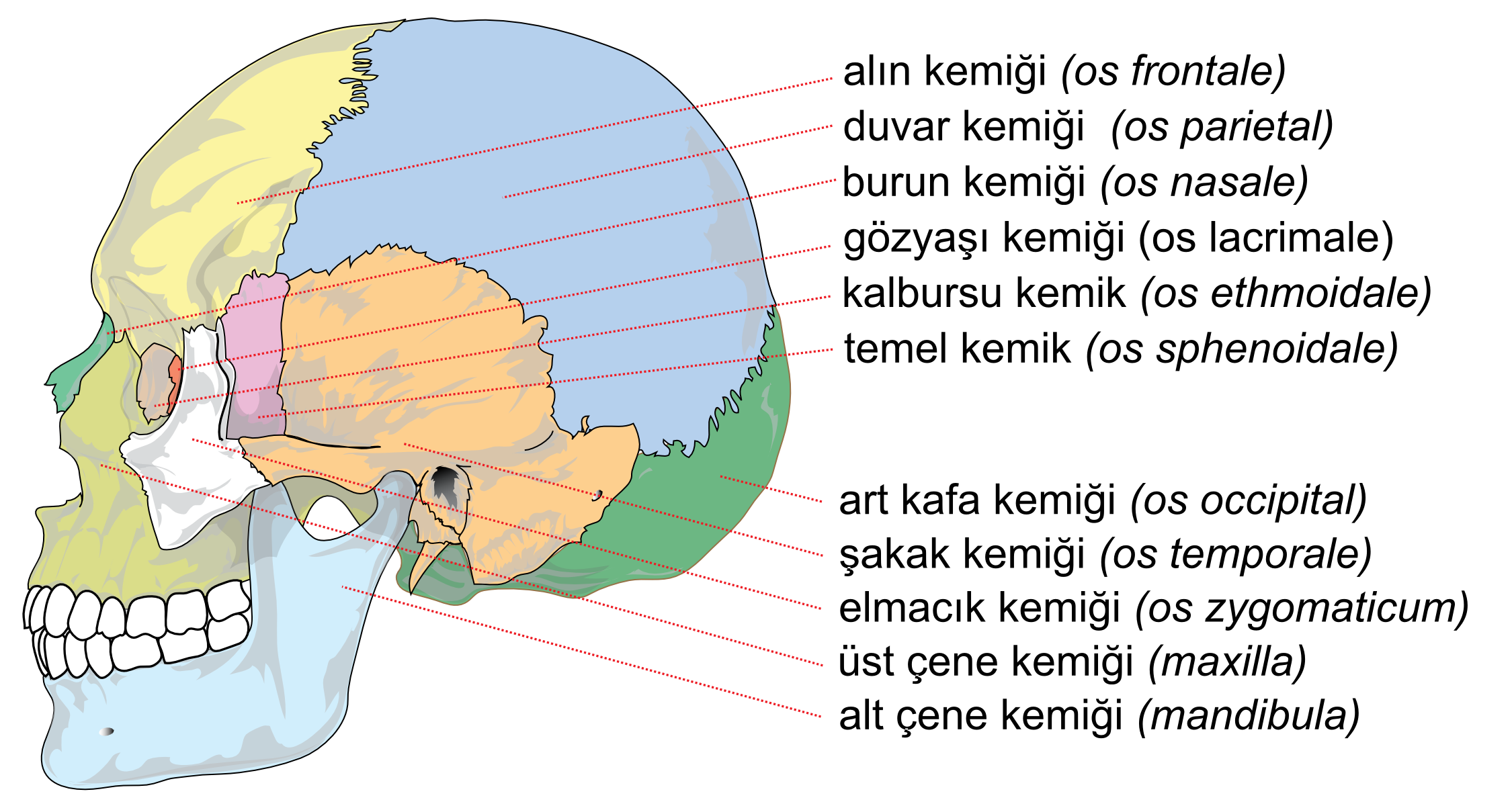 file:human skull side bones tr - wikimedia commons, Human Body