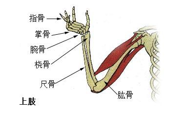 結節 大 骨折 腕骨 上