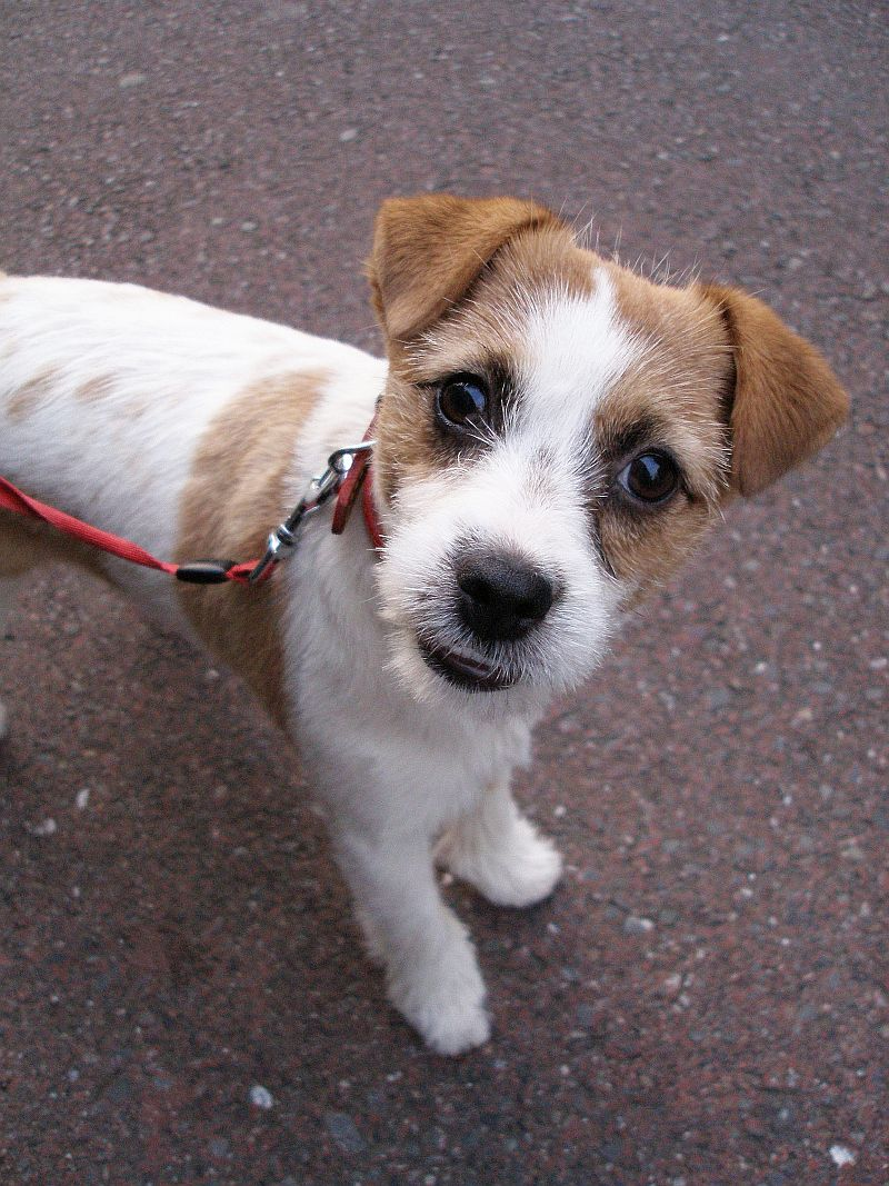 http://upload.wikimedia.org/wikipedia/commons/3/36/Jack_Russell_Terrier_look_up.jpg