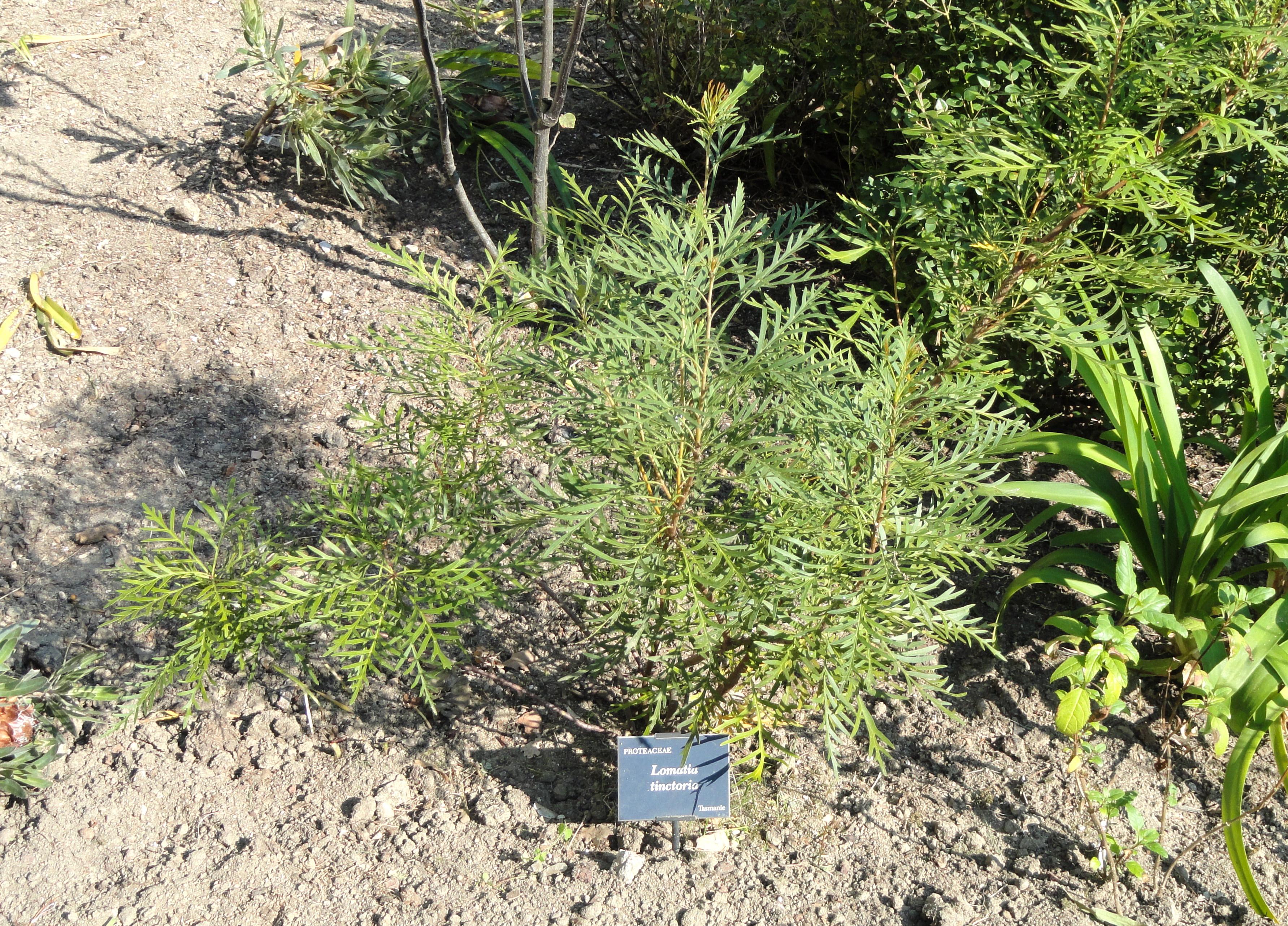 File lomatia tinctoria jardin serre de la madone dsc04167 jpg wikimedia - Serre de jardin 12m2 ...
