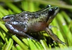 Description de l'image Microfrog Microbatrachella capensis - Cape Town.jpg.
