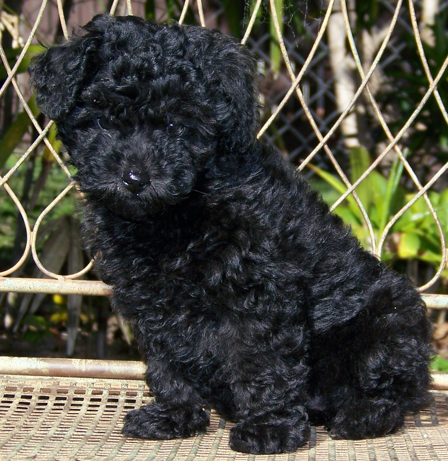 Description Miniature Poodle pup.JPG