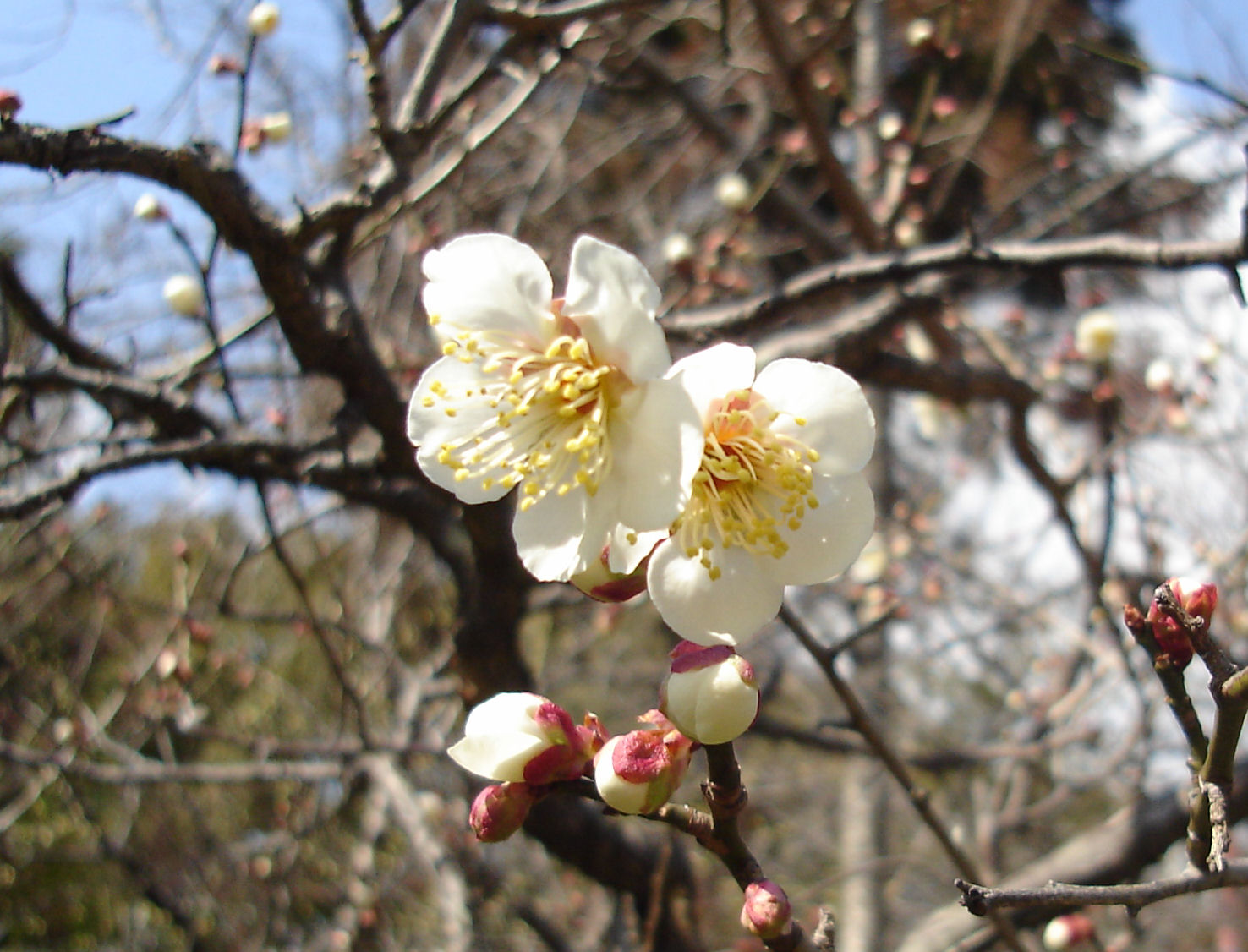 Prunus mume - Wikipedia, la enciclopedia libre