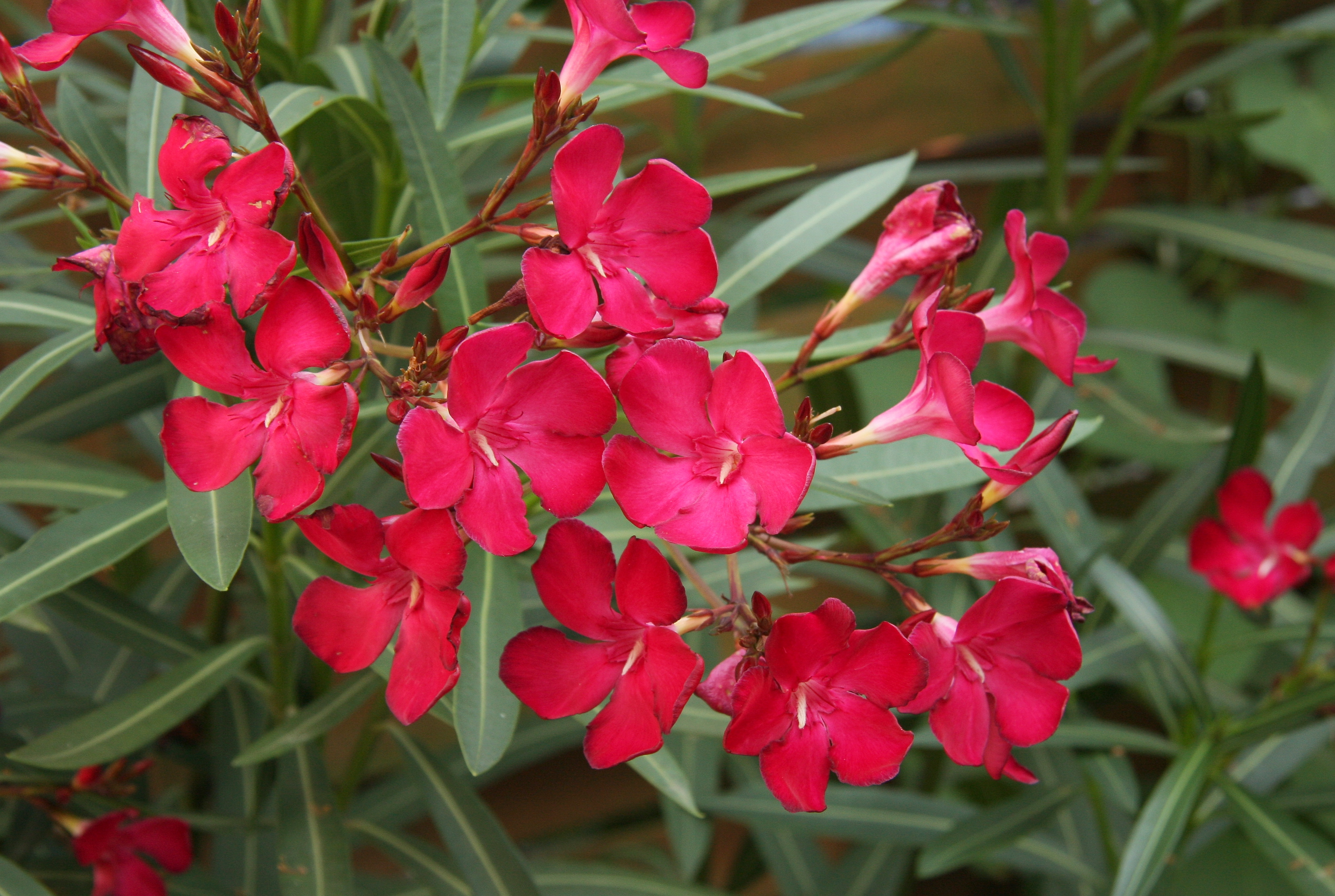 By Maja Dumat from Deutschland (Germany) (Oleander (Nerium oleander)) [CC BY 2.0 (http://creativecommons.org/licenses/by/2.0)], via Wikimedia Commons