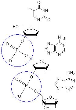 Structural biochemistrynucleic aciddnadna structure wikibooks phosphodiester bondedit ccuart Gallery