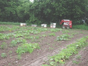 Placing honeybees for pumpkin pollination, Mow...