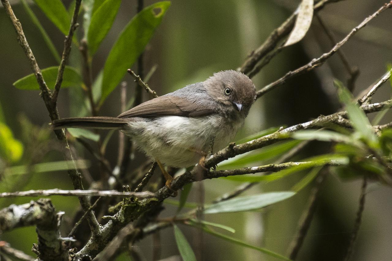 File:Pygmy Tit   Cibodas Bot.Gardens MG 3731 (29030183943)