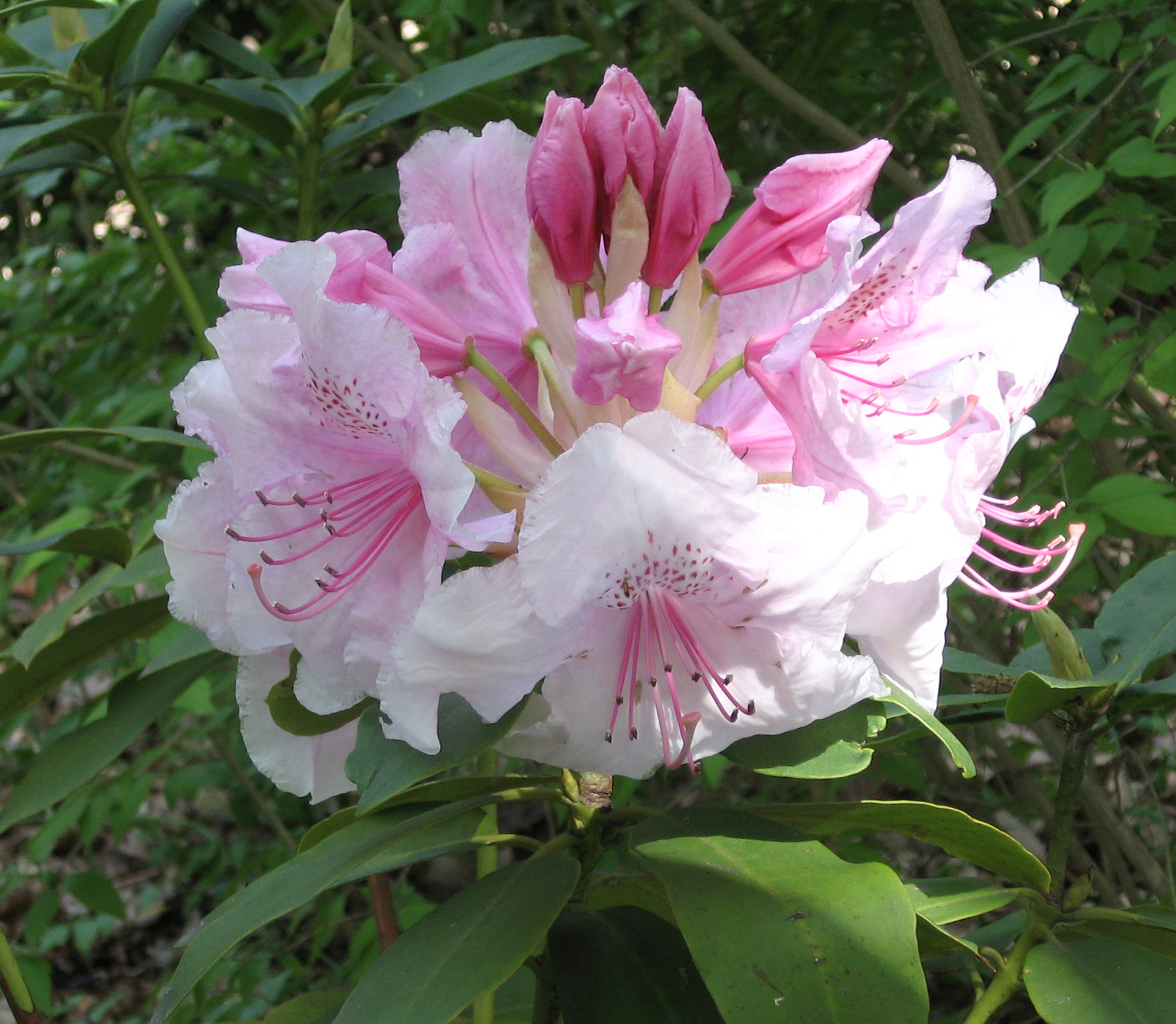 file rhododendron 39 pink pearl 39 jpg wikimedia commons. Black Bedroom Furniture Sets. Home Design Ideas