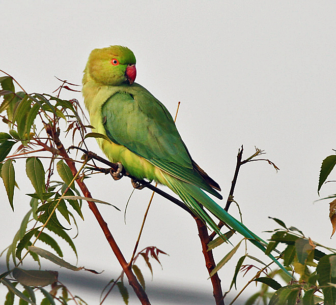 Rose-ringed Parakeet (Psittacula krameri)- Female on a Neem (Azadirachta indica) tree at Hodal Iws IMG 1279.jpg