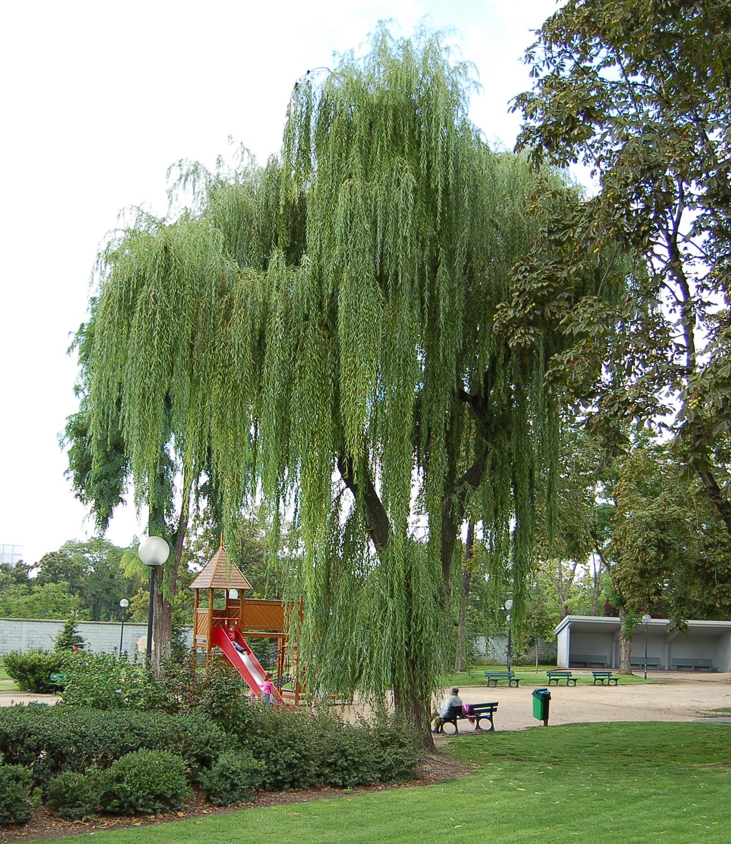 Sauce llorón (Salix babylonica).