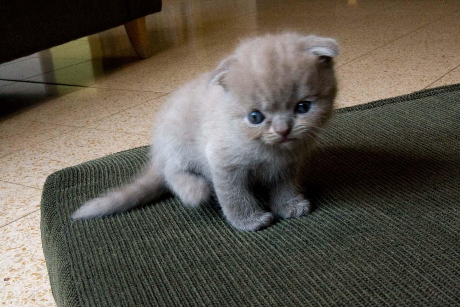 Munchkin Cat Gif Step Owner