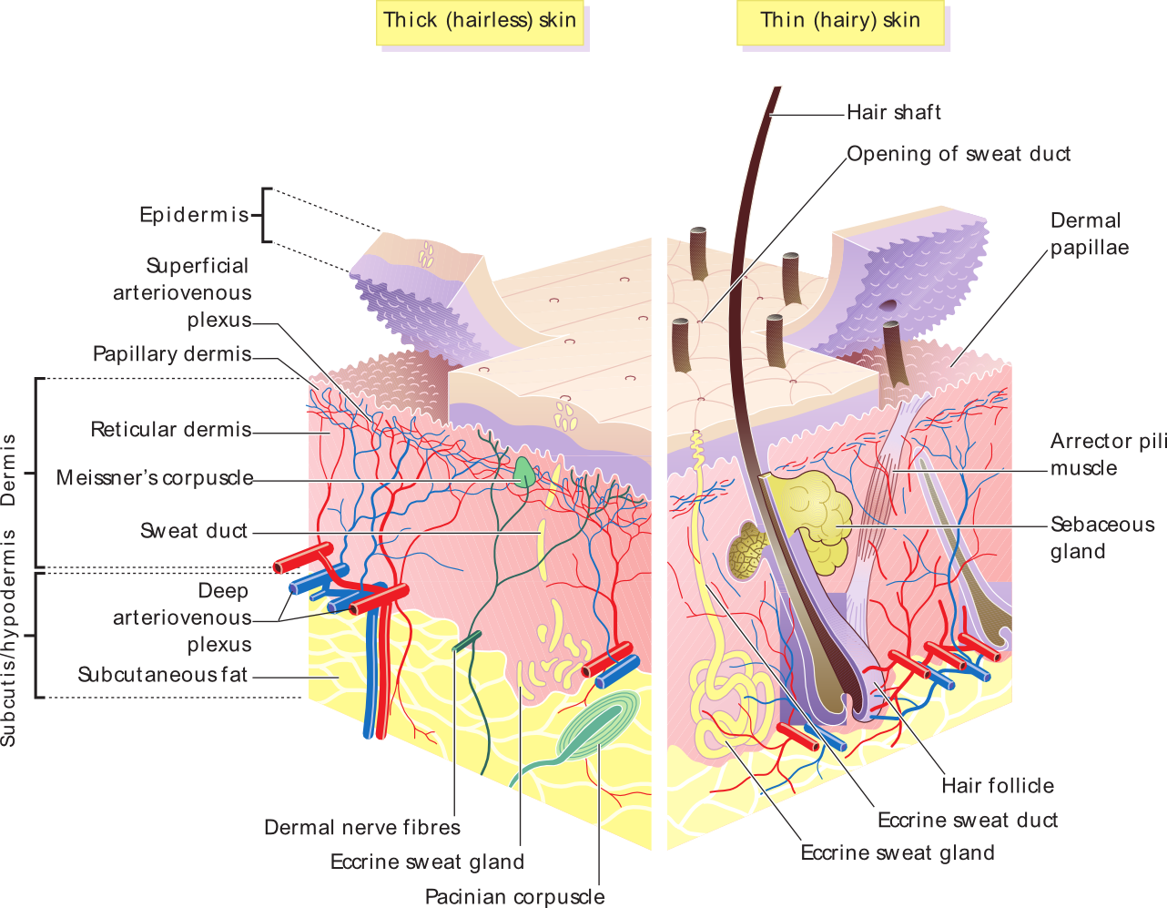 the skin boundless anatomy and physiology rh courses lumenlearning com  epidermis of thick skin diagram
