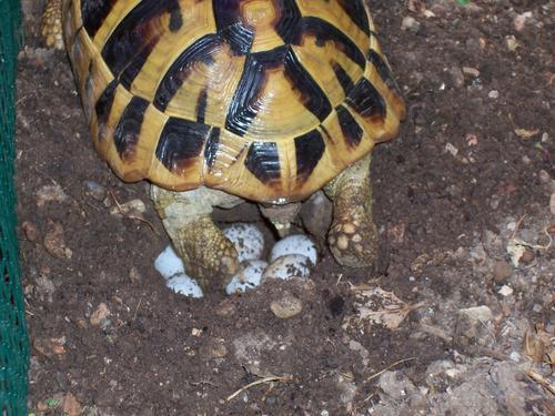 File testudo hermanni boettgeri female for Deposizione uova tartarughe terrestri