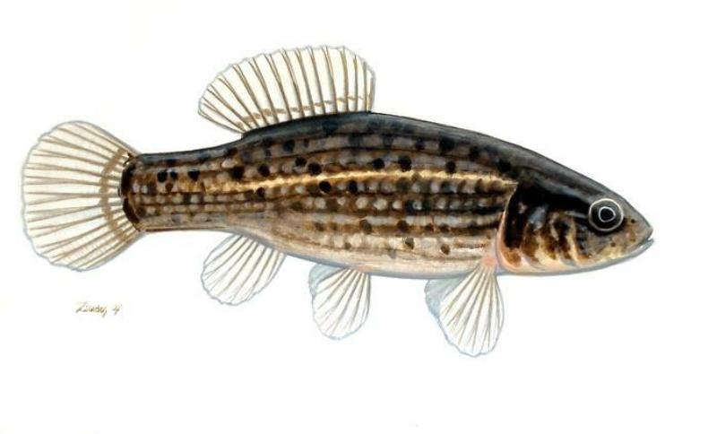 "Конкурс "" Рыба "" - Страница 2 Umbra_krameri_L%C3%A1pi_p%C3%B3c"