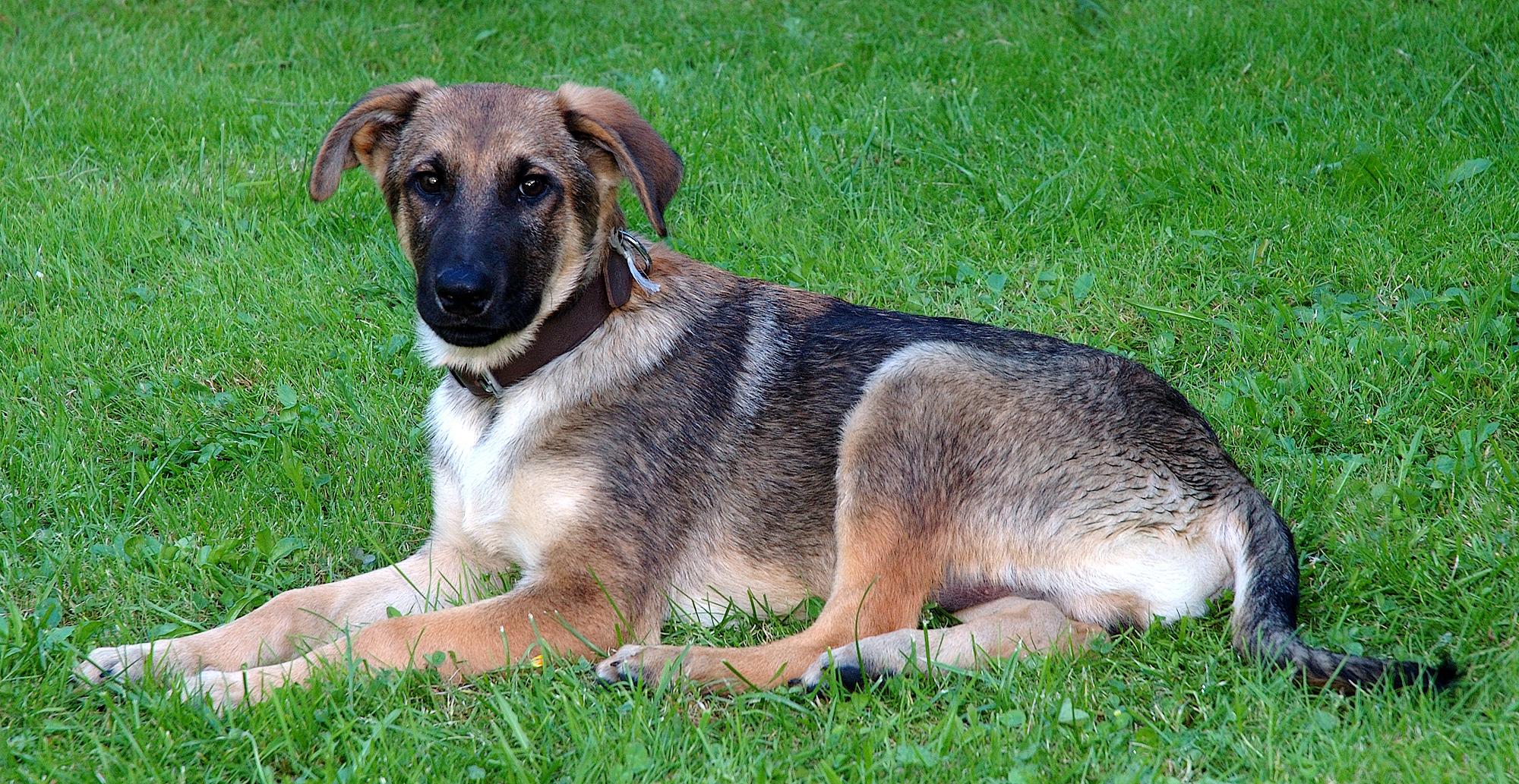 Sary:Young mixed-breed dog (aka).jpg - Wikipedia