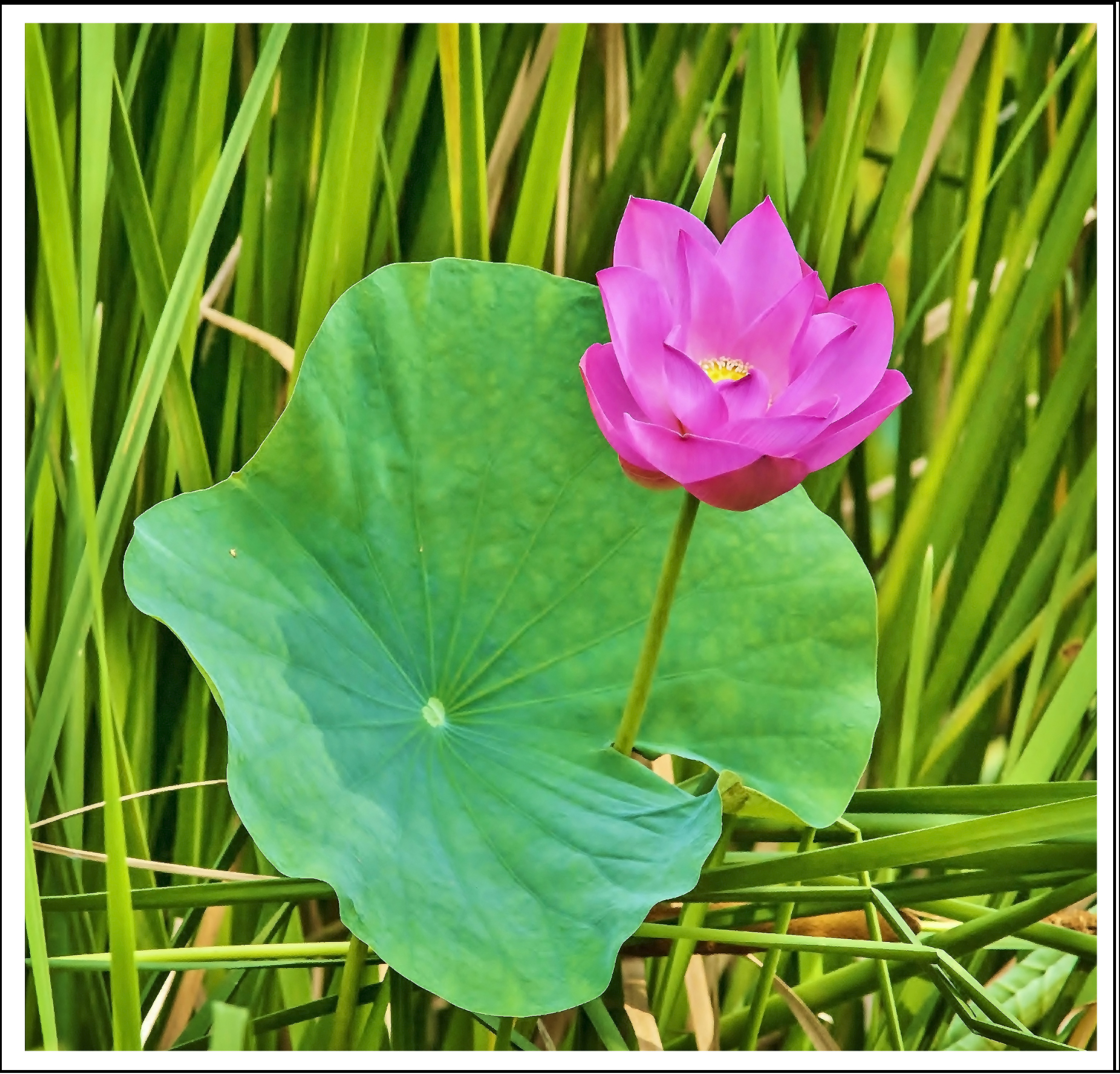 File1 Lotus Flower In A Pondg Wikimedia Commons