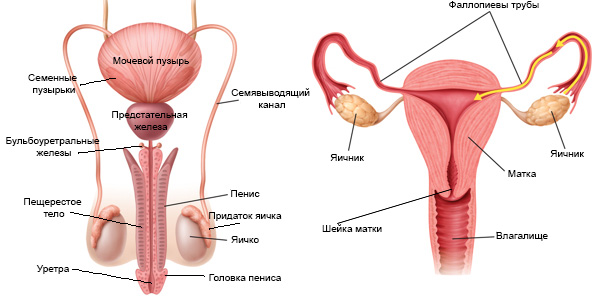 Анатомический рисунок пениса во вл