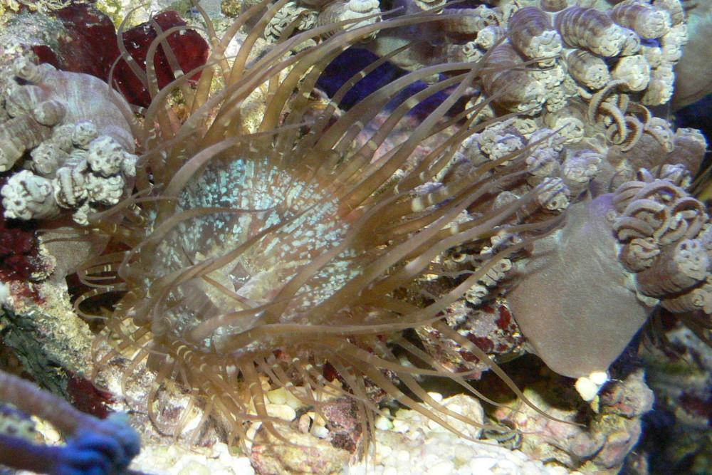 Hawaii fish guy aiptasia anemones berghia nudibranch for Aiptasia eating fish