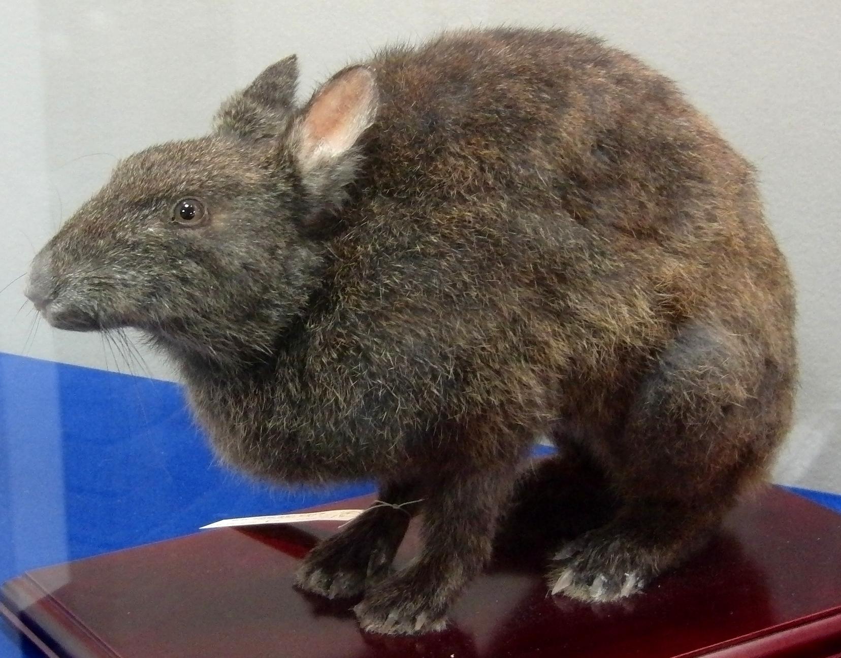 アマミノクロウサギの画像 p1_11