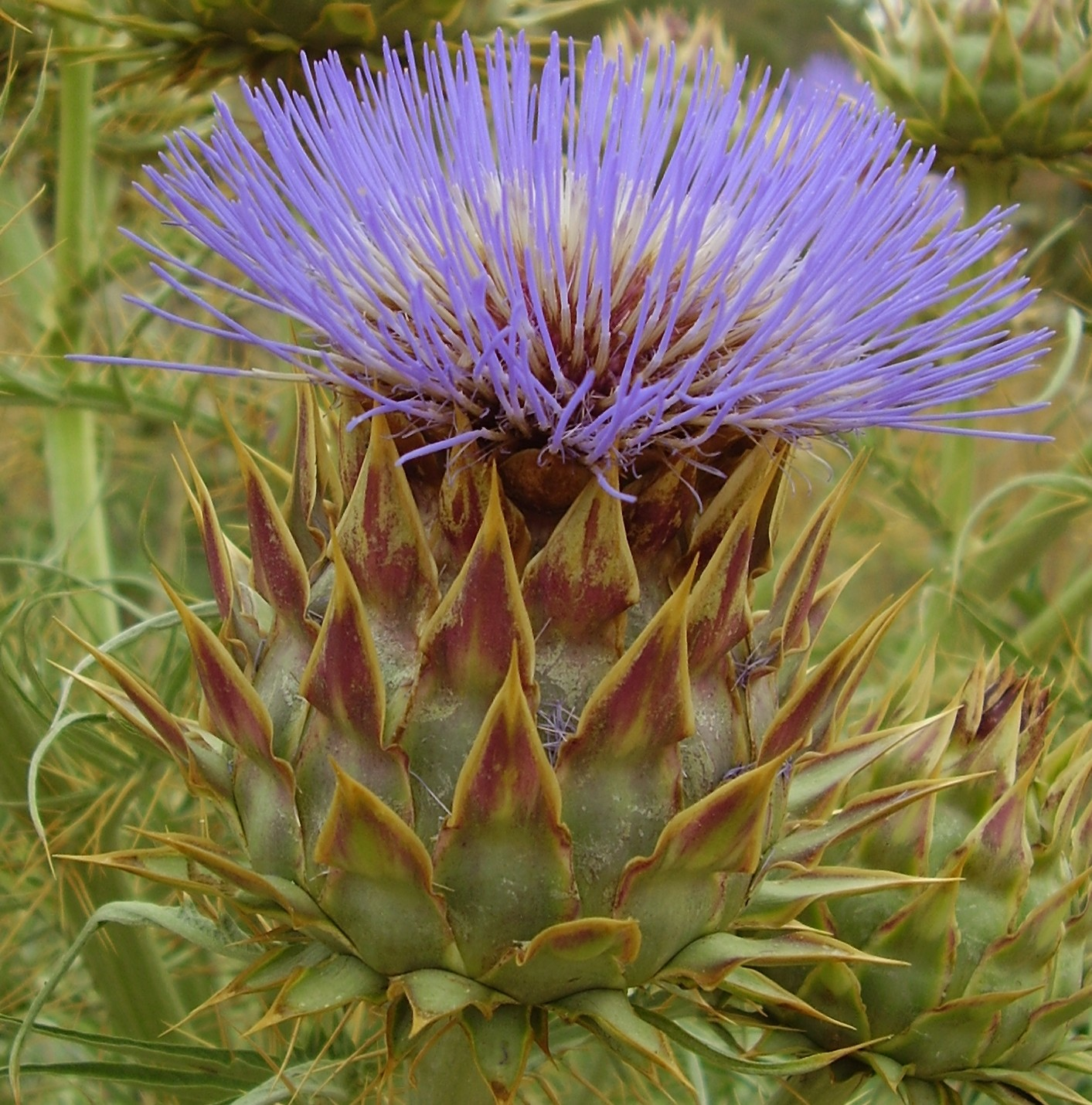 Artichoke Thistle Flower