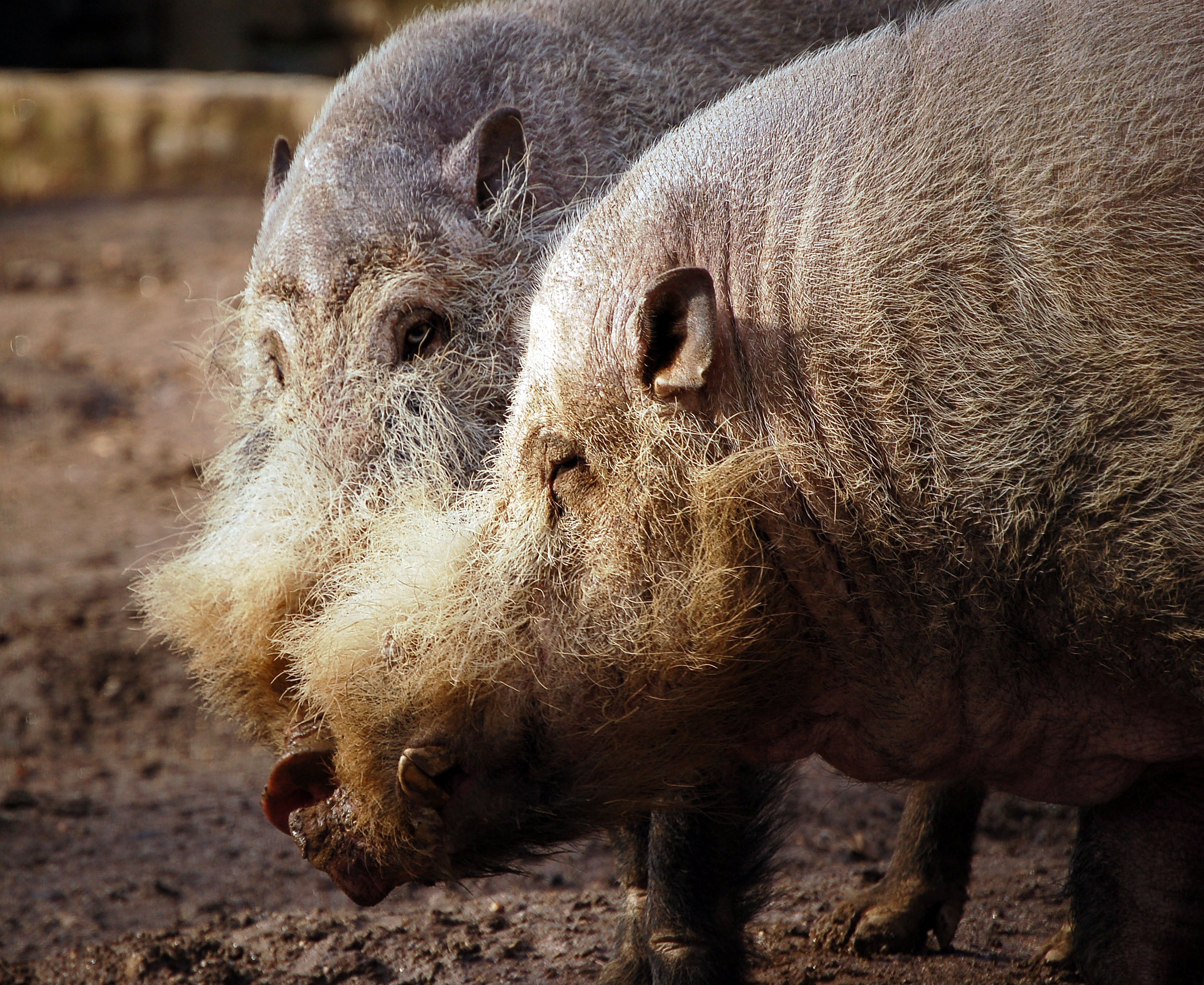 http://upload.wikimedia.org/wikipedia/commons/3/37/Bearded_Pigs2.jpg