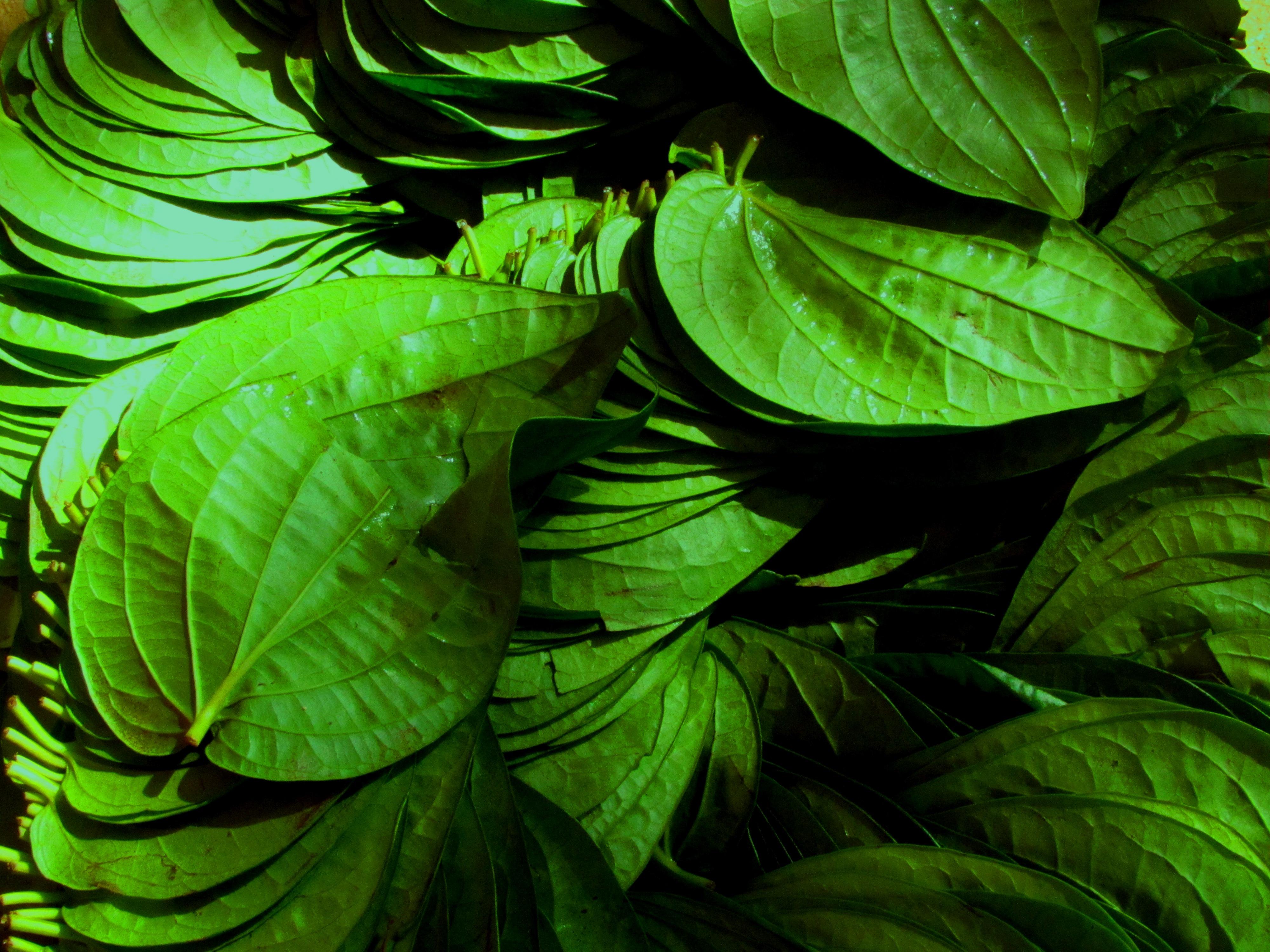 Mysore betel leaf - Wikipedia